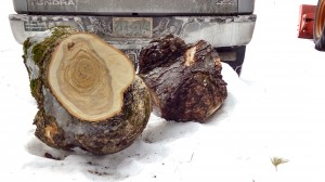 Yellow Birch and Soft Maple Burls